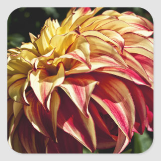 Red and Golden yellow Dahlia flower Square Sticker