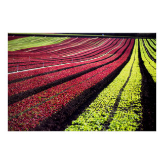 Red and green lettuce, San Luis Obispo County, Cal Poster