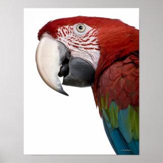 Red-and-green Macaw - Ara chloropterus Poster