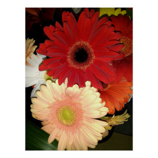 Red and Peach Gerbera Daisy Poster