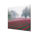 Red and pink tulips greet the day on a misty canvas print