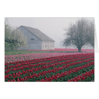 Red and pink tulips greet the day on a misty card