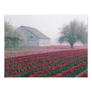 Red and pink tulips greet the day on a misty photograph
