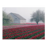 Red and pink tulips greet the day on a misty postcards
