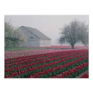 Red and pink tulips greet the day on a misty poster