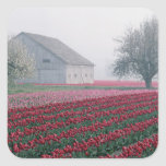 Red and pink tulips greet the day on a misty square sticker