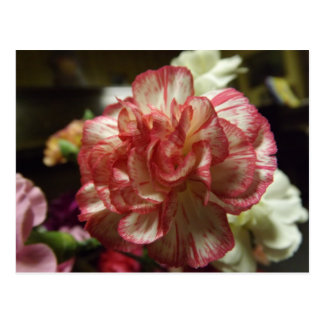 Red and White Carnation Postcard