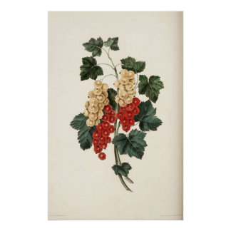 Red and White Currents Fruit Poster