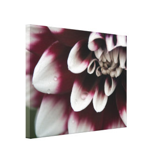 Red and White Dahlia Flower Canvas Print