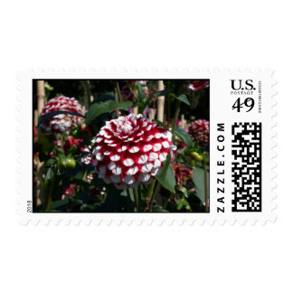 Red and white dahlia photo postage stamps