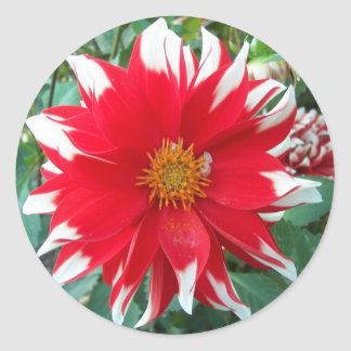 Red and White Dalhia Bloom Floral Classic Round Sticker