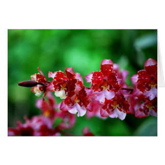 Red and White Dendrobium  Orchids Card