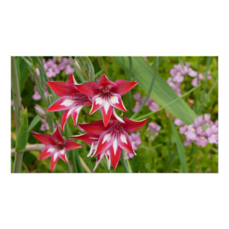 Red and White Gladiolas Colorful Floral Poster