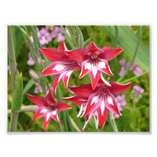 Red and White Gladiolas Photo Print