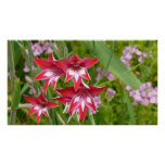 Red and White Gladiolas Summer Garden Floral Poster
