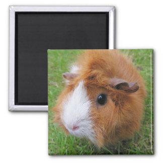 Red and White, Long Hair Guinea Pig in Grass Magnet