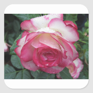 Red and white rose flowers with water droplets square sticker