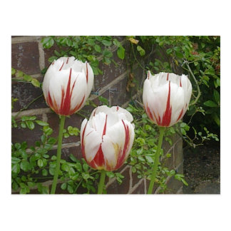 Red and White Striped Tulips Postcard