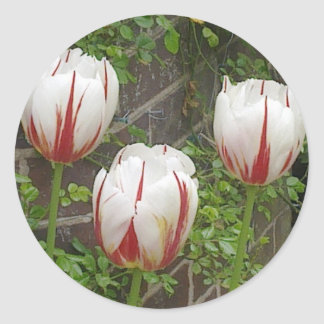 Red and White Striped Tulips Sticker