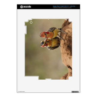 Red and Yellow Barbet eating termites Decals For iPad 3