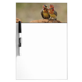 Red and Yellow Barbet eating termites Dry-Erase Board