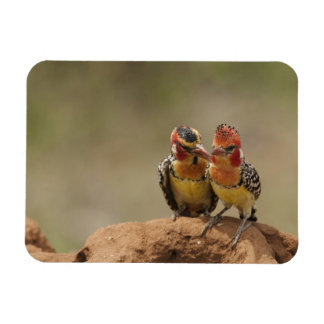 Red and Yellow Barbet eating termites Magnet