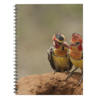 Red and Yellow Barbet eating termites Notebook