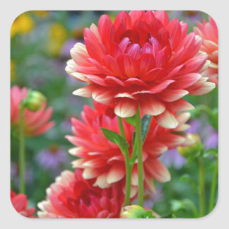 Red and yellow dahlia flowers square sticker
