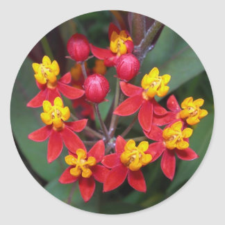 Red and yellow flower sticker (buttterfly weed)
