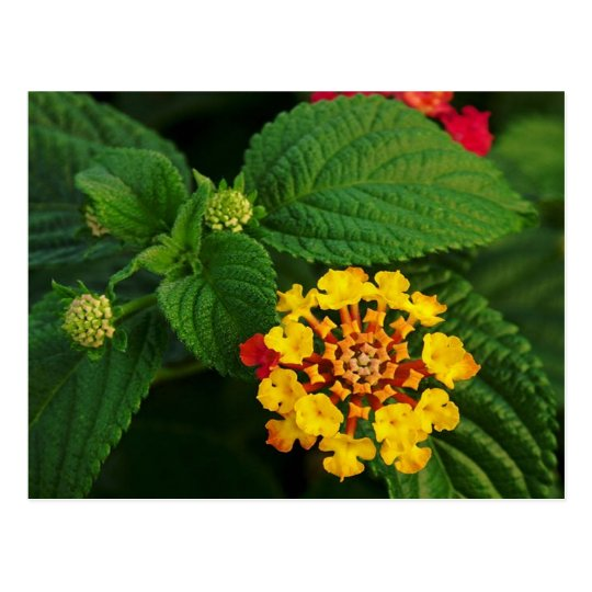 Red and Yellow Lantana Flower and Green Leaves Postcard
