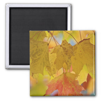 Red and yellow maple leaves, in the southern 2 inch square magnet