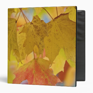 Red and yellow maple leaves, in the southern binder