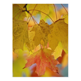 Red and yellow maple leaves, in the southern postcard