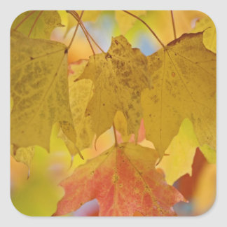 Red and yellow maple leaves, in the southern square sticker