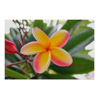 Red and Yellow Plumeria 1 Poster
