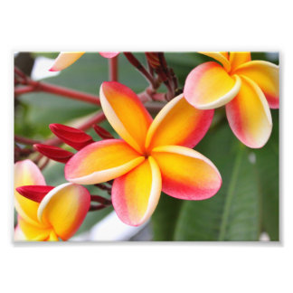 Red and Yellow Plumeria 3 Photograph