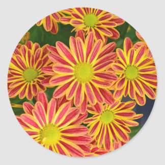 Red and yellow striped chrysanthemum flowers classic round sticker
