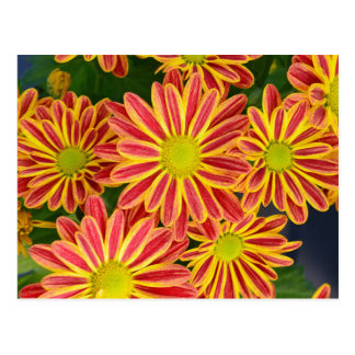 Red and yellow striped chrysanthemum flowers postcard