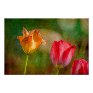 Red and yellow tulips on textured background poster