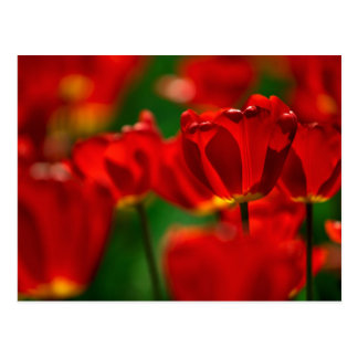 Red and Yellow Tulips Postcard
