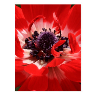 Red Anemone Postcard
