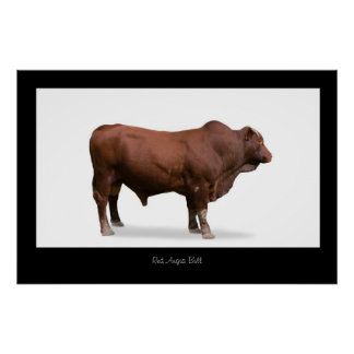 Red Angus Bull Poster Print