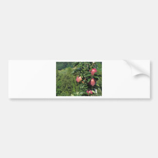 Red apples on tree branches bumper sticker