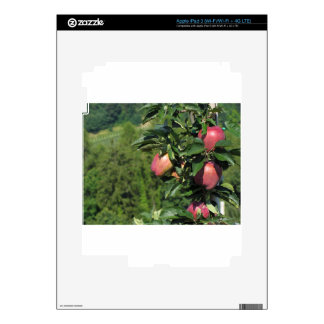 Red apples on tree branches skins for iPad 3