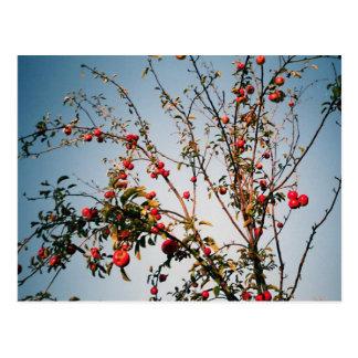 Red Apples Postcard