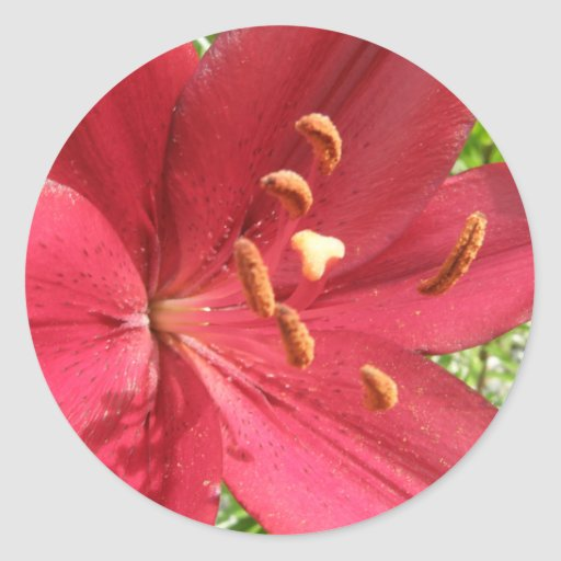 Red Asiatic Lily Classic Round Sticker