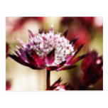 Red Astrantia Post Cards