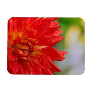 Red autumn dahlia flower in the garden magnets