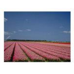 Red Barley fields, Zanskar Ladakh, India flowers Post Card
