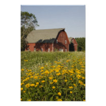 Red Barn and Yellow Wildflowers Poster